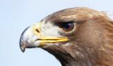 Výsledky sčítania dravcov na Slovensku pomôžu pri ich ochrane