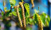 Brezové listy a brezová voda