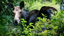 Der Elch kehrt zurück in die Slowakei