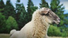 20 rokov od naklonovania ovce Dolly