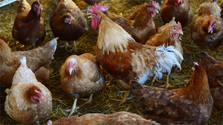 Slovakia self-sufficient in egg production