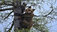 Koľko medveďov je na Slovensku?