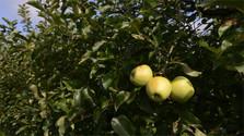 Le pommier de Slovaquie parmi les plus beaux arbres d'Europe