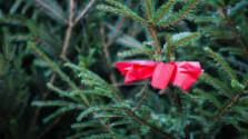 Klub spotrebiteľov: Ako sa starať o vianočný stromček?