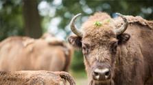 Excesiva reproducción de bisontes en la granja de Topoľčianky