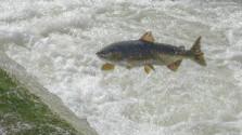 Rekordéri v migrovaní medzi rybami