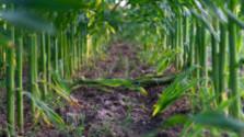 Zábavné blúdenie v kukuričnom labyrinte