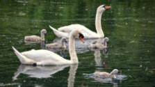 Kŕmenie rožkami môže vodným vtákom uškodiť