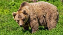 Los osos pardos se acercan a las poblaciones