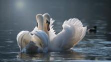 Odkiaľ sa vzali piešťanské labute